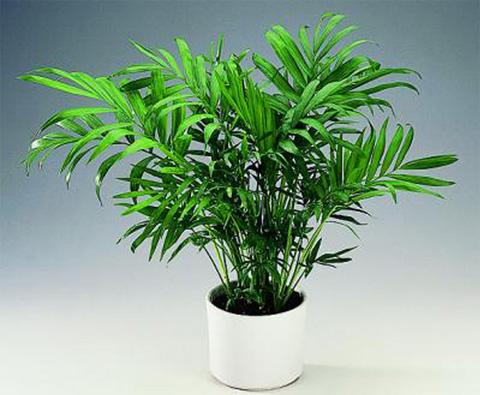 houseplants-palm