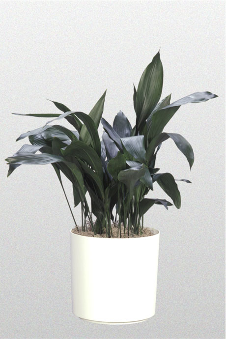 cast-iron-plants