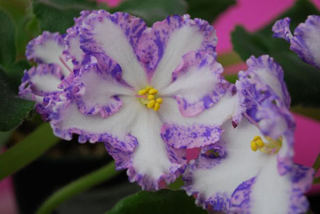 purple-african-violet-flower