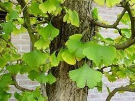 листья гингко билоба