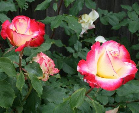 выращивание роз дома в горшке