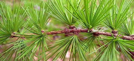лиственница полезные свойства хвои