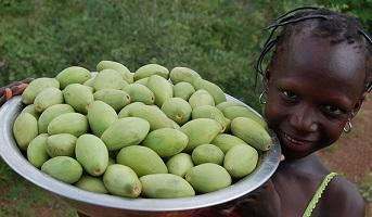 плоды дерева Ши