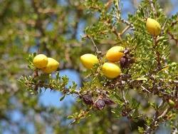 Плоды Арганы