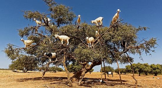 Дерево Аргания