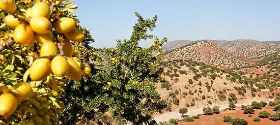 Плоды дерева Аргания