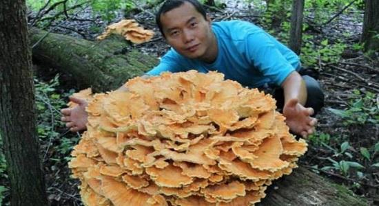 Применение гриба мейтаке